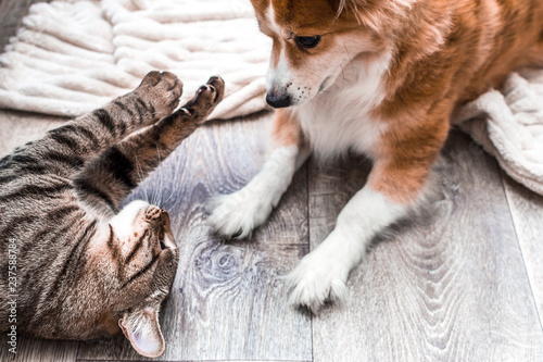 Chat cat and dog play on the floor