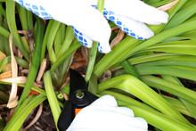 Cutting Of A Faded Flower-bearing Stem Of A Cultivar Daylily (Hemerocallis Sp.) With Garden Secateurs In The Autumn Garden