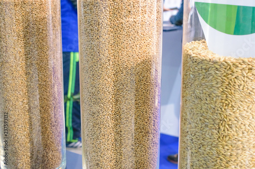 Fotografía  Varieties of wheat, samples in glass containers