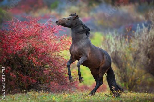 Slika na platnu Bay stallion rearing up in crataegus trees