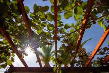 Grape Vines Ripping In Sun