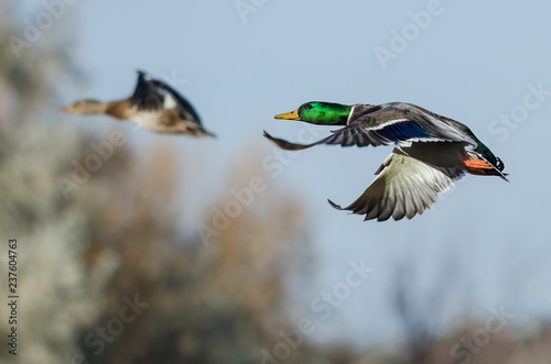 Photo  Mallard Ducks flying Low Over the Autumn Trees