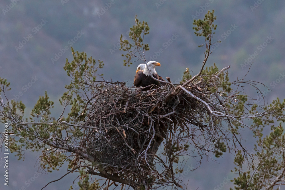 Bald eagle at Los Angeles foothills