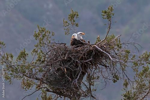 Bald eagle at Los Angeles foothills