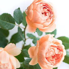 English Garden Three Coral Roses On A White Background. Trendy Color Of The 2019. Living Coral.