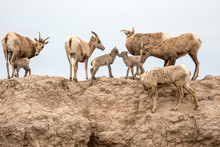 Bighorn Sheep In Badlands National Park In South Dakota.