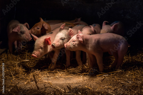 Newborn baby pigs in the straw nest