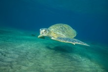 Green Sea Turtle (Chelonia Mydas) Swims Over Sandy Bottom In Blue Water, Red Sea, Abu Dabab, Marsa Alam, Egypt, Africa