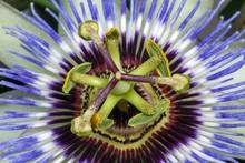 Blue Passion Flower (Passiflora Caerulea), Tripartite Stamp And Five Stamens, Detail, Burgenland, Austria, Europe