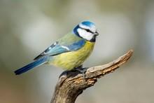 Blue Tit (Parus Caeruleus), Si...