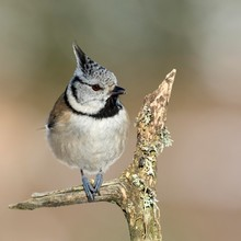 Crested Tit (Parus Cristatus), Sits On A Branch With Lichens, Tyrol, Austria, Europe