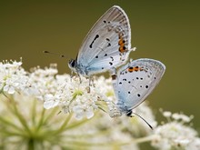 Two Short-tailed Blue Cupids (Cupido Argiades) During Mating, On Bloom Of Wilder Mohre (Daucus Carota Carota), Burgenland, Austria, Europe
