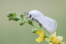 White Ermine (Spilosoma Lubricipeda), On Common Agrimony (Agrimonia Eupatoria), Burgenland, Austria, Europe