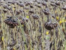 Ripe, Dried Sunflowers In The Field, Lower Austria, Austria, Europe