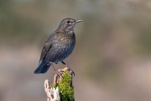 Blackbird (Turdus Merula), Sitting On A Mossy Tree Stump, Tyrol, Austria, Europe