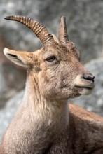 Alpine Ibex (Capra Ibex), Fema...