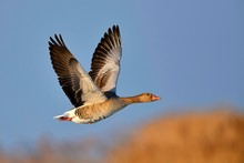 Greylag Goose (Anser Anser), Flies Over Lake Neusiedl, Burgenland Austria