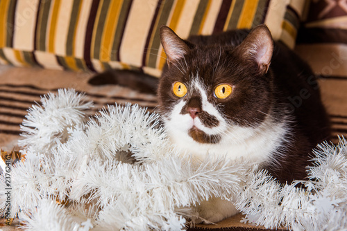 Fotografía  British cat chocolate color is playing with the Christmas garland