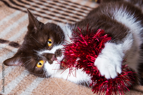 Fotografie, Obraz  British cat chocolate color is playing with the Christmas garland