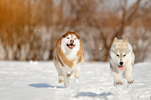 Two Dogs And Puppy Siberian Hu...