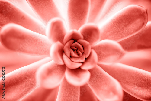 Obrazy wieloczęściowe Succulent plant in Living coral color close up background Pantone color of the year 2019 concept