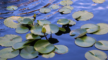Water Lily Buds Emerging From ...