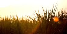 Sunset Over Sugar Cane Field.