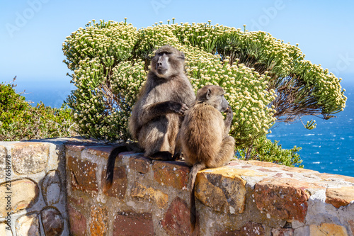 Valokuva  A mother and baby baboon on a wall, at Cape Point in South Africa