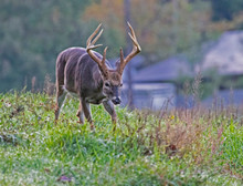 Large Antlered Buck In Cades C...