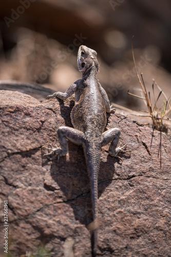 Photo  Agama lizard on rock
