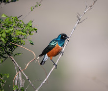 Superb Starling On The Tree
