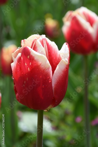 Photo  red and white tulip