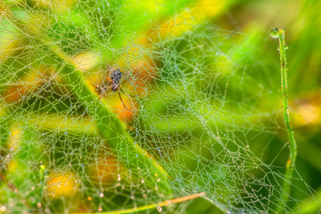 morning dew on the spider web