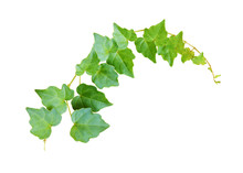 Closeup Of Waved Ivy Twig With...