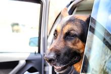 Dog German Shepherd In The Car