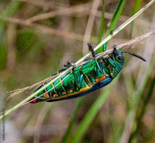 Jewel beetle in field macro shot - Buy this stock photo and