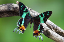 Madagascan Sunset Moth (Chrysiridia Rhipheus) , One Of World's  Most Impressive Coloful  And Beautiful With Iridescent Parts Of The Wings. Selective Focus, Blurred Nature Green Background