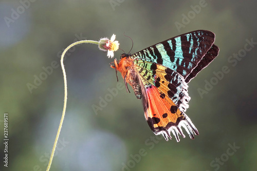 Madagascan Sunset Moth (Chrysiridia rhipheus) , One of world's  most impressive coloful  and beautiful with iridescent parts of the wings Fototapeta