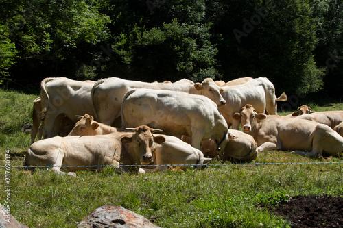 Fotografie, Obraz  Vacas en el prado todas juntas