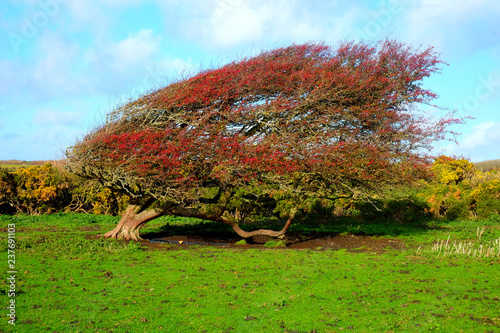 Fotografering windswept Ripe red hawthorn berry bush, Crataegus monogyna in a field