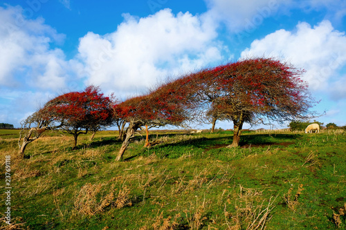 Fotografija  a line of four windswept Ripe red hawthorn berry bush, Crataegus monogyna in a f