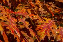A Beautiful Red Autumn Marsh O...