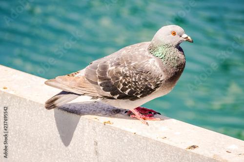 Fotografie, Obraz  Pigeon Kentish Plover Water Bird