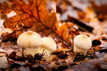 Mushrooms In The Woods In The Fall Among The Wet Twigs And Yellow Fallen Leaves. Lycoperdon Perlatum. Puffball.