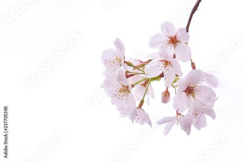 桜の花 開花 枝先 白背景 Canvas Print