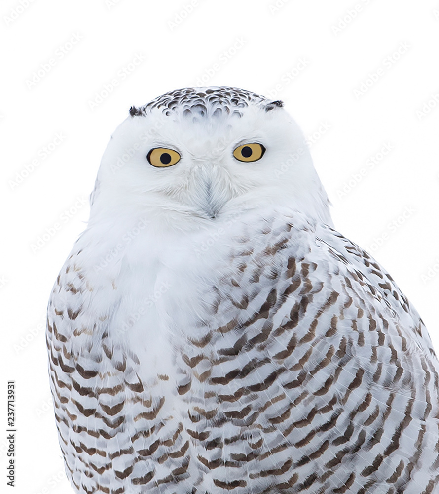 Snowy owl (Bubo scandiacus) isolated on white background perched on a post in winter in Ottawa, Canada