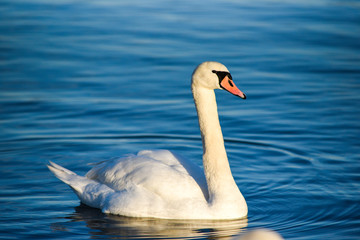 A swan floating on the lake. A portrait of a white swan.
