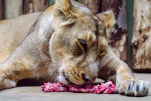 Lioness Eating Raw Meat