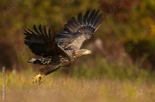 Photo  White tailed eagle (Haliaeetus albicilla)