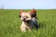 Beautiful Small Lhasa Apso Is ...